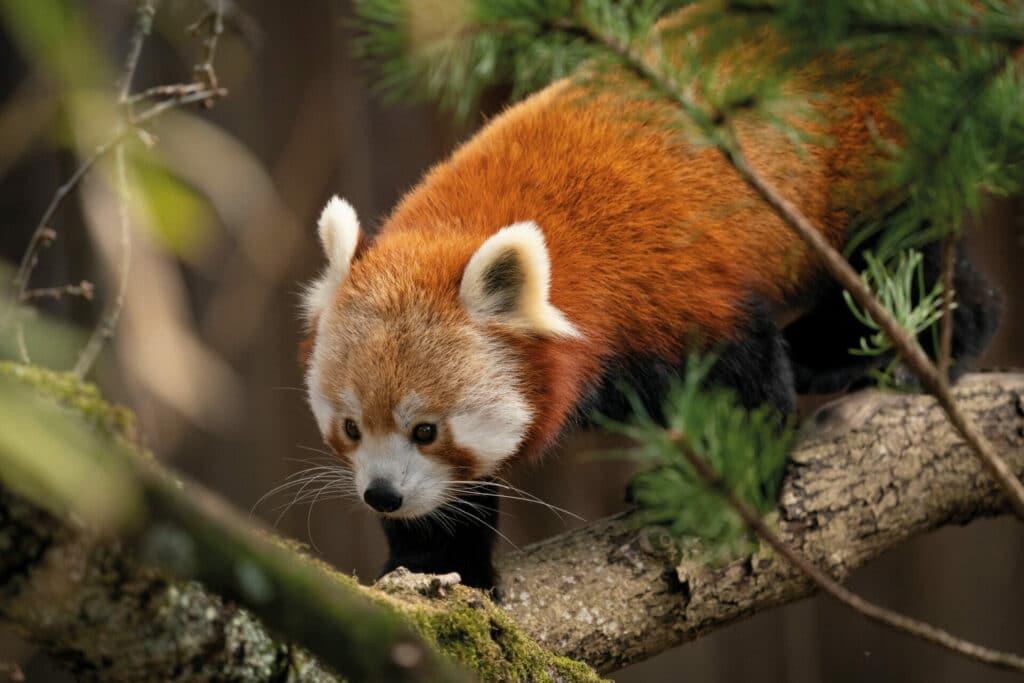 Zoo-Photographer---Credit-Jason-Brown---Mei-Mei-new-home-(1)