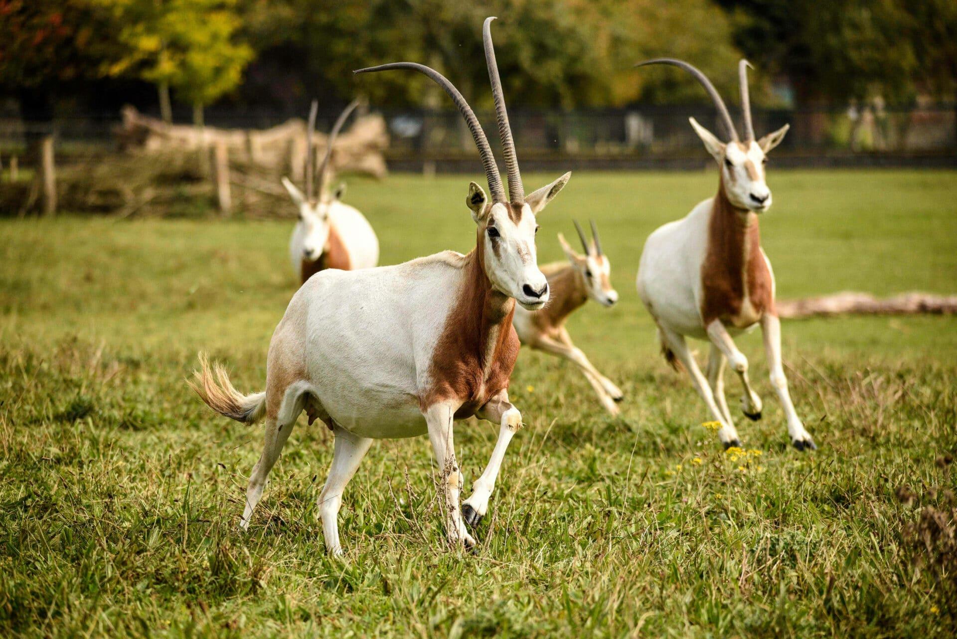 Flickr---Credit-hannahepearce---Scimitar-horned-oryx