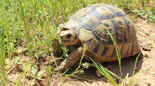 Tunisian spur-thighed tortoise